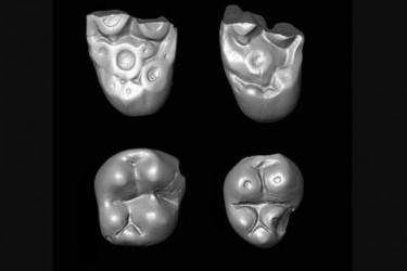 Dientes fósiles de mono de 32 millones de años acreditan que los monos cruzaron de África a América  - FOTO: Universidad del Sur de California